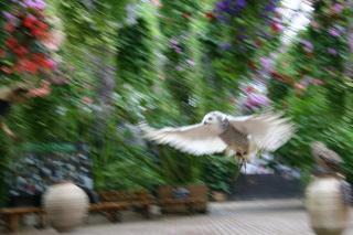 飛ぶ_白フクロウ