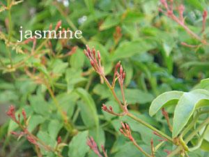 ジャスミンの花芽