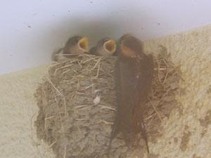 ツバメの巣♪