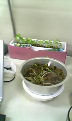 小松菜とコスモスと何かの草