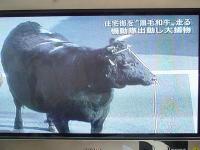牛、あらわる!