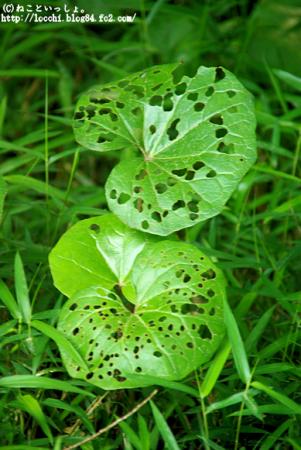 穴だらけの葉。