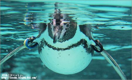 真正面のペンギン。<葛西臨海水族園>