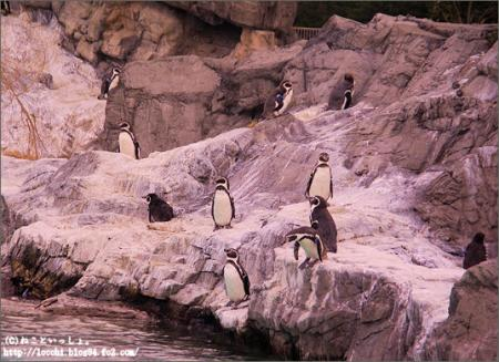 フンボルトペンギン。<葛西臨海水族園>