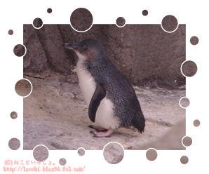 フェアリーペンギン。<葛西臨海水族園>