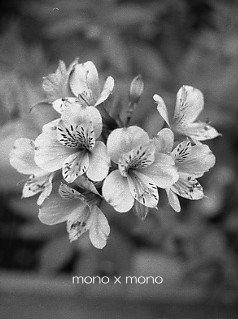 アリストロメリア:花言葉は『持続』