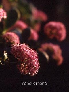ミセバヤの花の名の由来は見せばや(誰にみせようか)なのだそうです。
