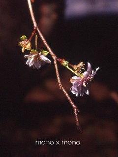 春の桜以上に儚げな十月桜
