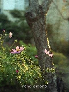 冷たい風に ゆらゆらゆれる秋桜も そろそろ終わり