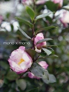 淡い色の山茶花はひっそりと咲く