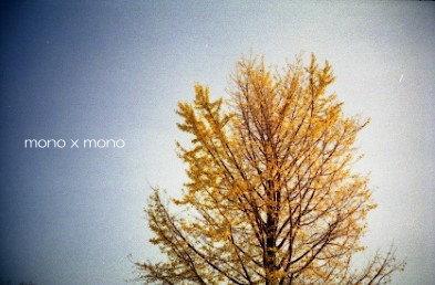 沢山の銀の実(銀杏)を落としたイチョウの木今は ひらひら 黄金(こがね)の葉を落とす