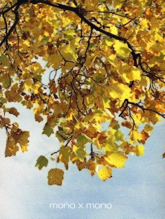 黄色く色付いた 大きな『ゆりの木』あなたは何歳なんですか?