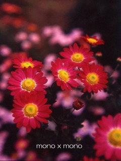 菊の花って地味ですが実はすごく好きだったりします儚そうで強くてなんとなく亡き母のイメージです