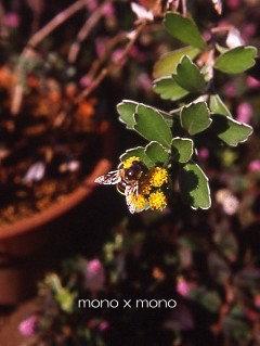 カメラなんてお構いなしで夢中で蜜を集める蜂さんかれこれ2ヶ月も前の写真だけれどこの蜂さんは今どうしているだろう?