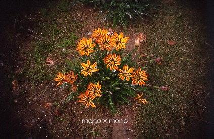 ココロに咲く花は 決して枯れないあぁ、この雰囲気は『ひまわり』だ...って言っても、keishiさんにしか伝わらないな(笑)