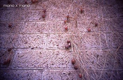 石造りの蔵の壁一面を這うように伸びるツタとその朽ちた実
