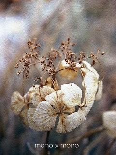 色褪せた花(ガク)を付けたままで立ち枯れていた紫陽花(アジサイ)死んでしまったように見えて実は春の新芽が育っている