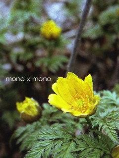 真冬のような寒さだったこの日福寿草の黄色が とても暖かだった