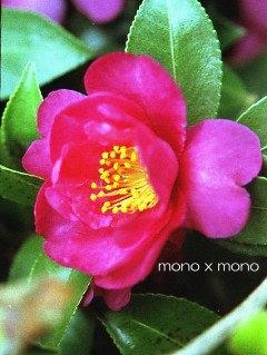 つややかな葉っぱと、あでやかな花。漢字で書くと、どちらも同じ『艶やか』なんだね。