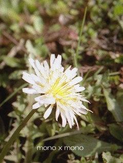 今年もいつもの場所に咲いてくれた大好きな白いタンポポの花