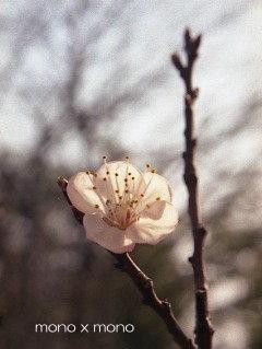 梅だと思うでしょ?残念でした実はこれ『杏子』の花なんです