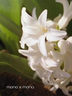 真っ白 真っ白 ヒヤシンスふんわり ふんわり いい香り