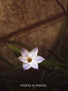 ハナニラは大好きな花のひとつたくさん咲いているのもいいけどひとつだけっていうのも何故か好き