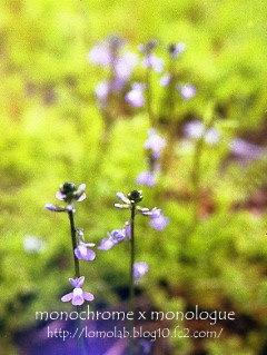 今年も「マツバウンラン」が咲きました私は勝手に『青い妖精』と呼んでます(*^-^*)