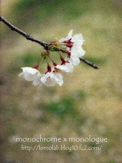 北に行ったら満開の桜に出会えました日本って本当に縦長なんだなぁ縦長っていいなぁ(笑)