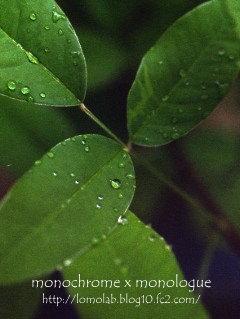 雨の日は葉っぱについた水滴を楽しむ...とは言っても、こう毎日だとちょっと煩わしい(苦笑)
