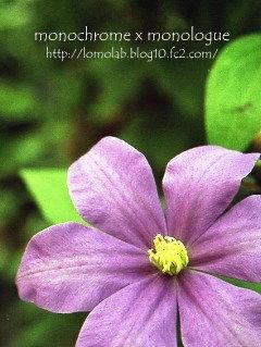 庭のクレマチスは既に終わり今は紫陽花が咲いています季節が移るのはホントに早い