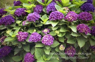 季節はずれになる前に紫陽花をアップPENでも撮っているのだけれど現像はまだ先になりそうだから