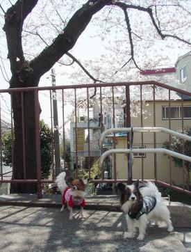 DSC09056sakura.jpg