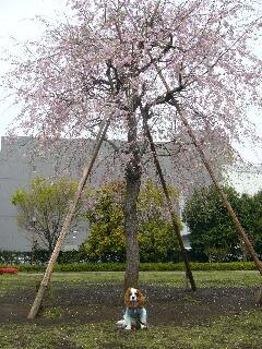 しだれ桜とオイラ!