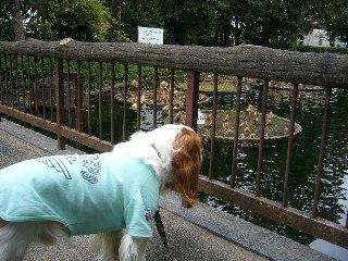 池に鯉がいるんだよ!