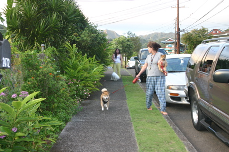 ハワイの柴犬01