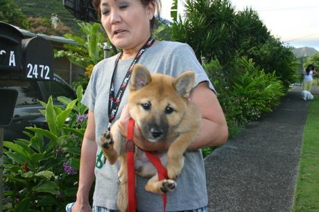 ハワイの柴犬10