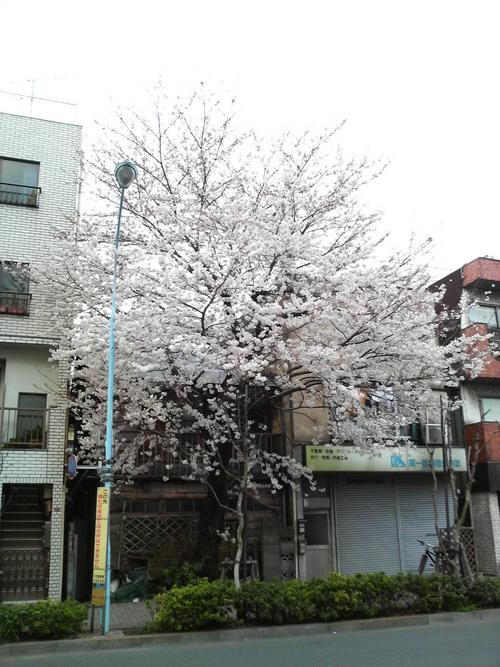 sakuraP1000036.jpg