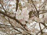 満開 :桜