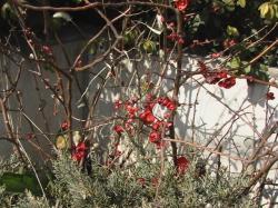 日野の紅梅