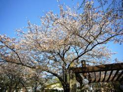 既にやや葉桜・・・