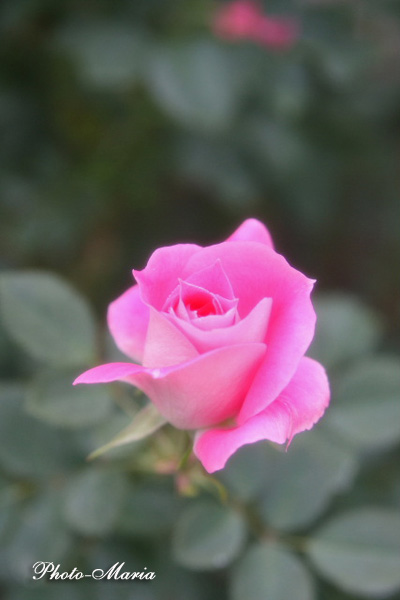 c2-08a-rose29.jpg