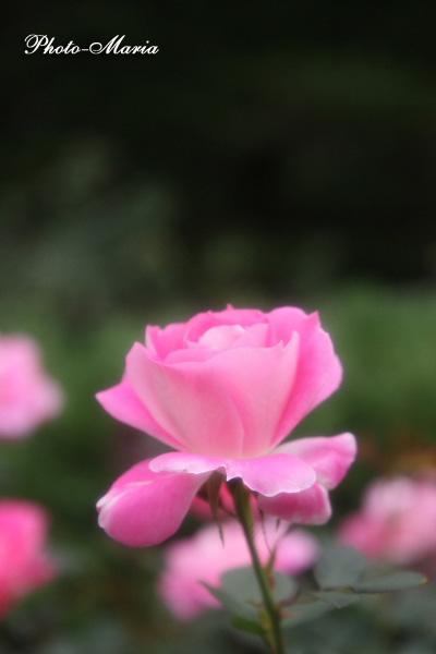 c4-08a-rose33.jpg