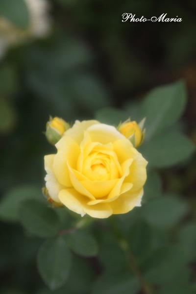g2-08a-rose40.jpg