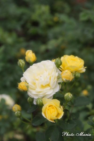 g3-08a-rose37.jpg