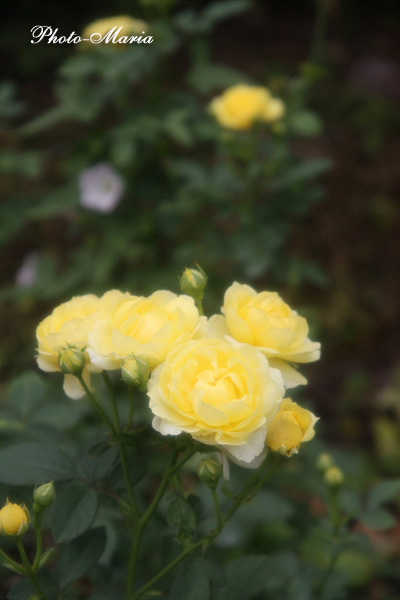 g4-08a-rose42.jpg