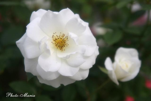 i2-08a-rose73.jpg