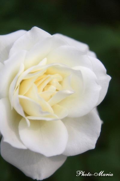 i3-08a-rose74.jpg