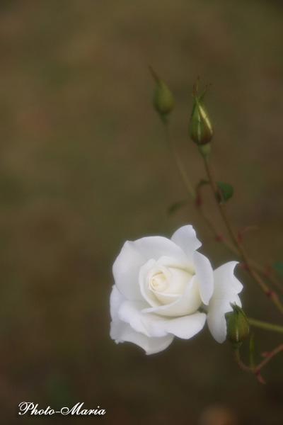 i4-08a-rose77.jpg