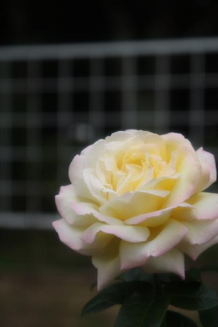 p1-08a-rose07.jpg